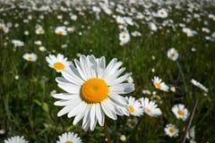 De vers wildflowerslente of de zomerontwerp De bloemen abstracte achtergrond van het aardmadeliefje in groen en geel Royalty-vrije Stock Fotografie