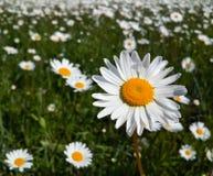 De vers wildflowerslente of de zomerontwerp De bloemen abstracte achtergrond van het aardmadeliefje in groen en geel Royalty-vrije Stock Afbeeldingen