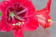 De verschillende plannen van bloemamaryllis stock foto's