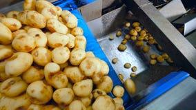 De verse aardappelknollen vallen van de vervoerder stock video
