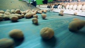 De verse aardappels bewegen zich langs de vervoerder stock video