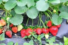 De vruchten en de installaties van de aardbei Stock Foto's