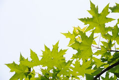 De verse bladeren van vliegtuigbomen stock afbeelding