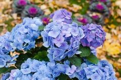 De verse bloemen van de bloesemhydrangea hortensia stock afbeelding