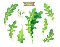 De de verse die bladeren en bloemen van Arugula op witte waterverfillustratie worden geïsoleerd stock illustratie