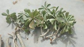 De verse en gezonde knipsels van de adeniuminstallatie klaar voor het planten stock fotografie