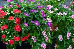 De verse en heldere bloemen van het hangen namen maagdenpalmpotten toe royalty-vrije stock afbeeldingen