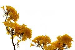 De verse gele bloemen van de kleurenbloei van Tabebuia-aureaboom of trompetboom stock afbeelding