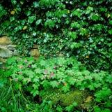 De verse geranium kwam in tot bloei stock afbeeldingen