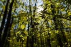 De verse groene bladeren backlit met zonstralen in het bos, de lente zien door greenary in tuin backlight Royalty-vrije Stock Foto