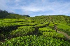 De verse groene mening van de theeaanplanting dichtbij de berg met mooie blauwe hemel in Cameron Highland Royalty-vrije Stock Foto's
