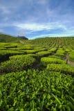 De verse groene mening van de theeaanplanting dichtbij de berg met mooie blauwe hemel in Cameron Highland Royalty-vrije Stock Fotografie