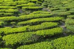De verse groene mening van de theeaanplanting dichtbij de berg met mooie blauwe hemel in Cameron Highland Stock Foto