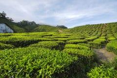 De verse groene mening van de theeaanplanting dichtbij de berg met mooie blauwe hemel in Cameron Highland Royalty-vrije Stock Foto