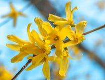 De verse het bloeien gele de Lenteforsythia bloeit, detail tegen een zonnige blauwe hemel stock foto
