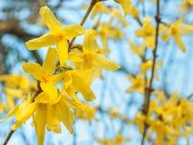 De verse het bloeien gele de Lenteforsythia bloeit, detail tegen een zonnige blauwe hemel royalty-vrije stock fotografie