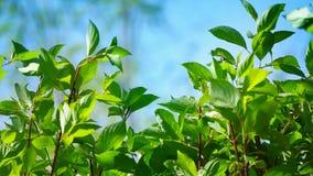 De verse jonge groene linde verlaat helder zonlicht, sluit omhoog geschoten stock videobeelden