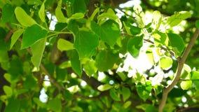 De verse jonge groene linde verlaat helder zonlicht, sluit omhoog geschoten stock footage