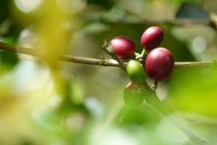 De verse koffieboon kijkt keurig als kiem stock afbeeldingen