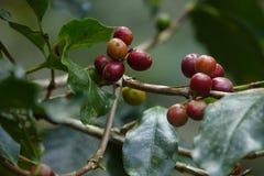 De verse koffieboon kijkt keurig als kiem stock fotografie
