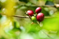 De verse koffieboon kijkt keurig als kiem royalty-vrije stock afbeelding