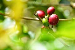 De verse koffieboon kijkt keurig als kiem royalty-vrije stock fotografie