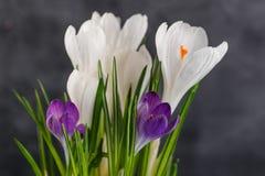 De verse lente bloeit krokussen Stock Foto
