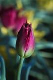 De verse Ondiepe Diepte van de Tulp Royalty-vrije Stock Fotografie