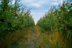 De verse Organische Appelen, appelboomgaard, Apple-tuinhoogtepunt van riped aangaande Royalty-vrije Stock Foto