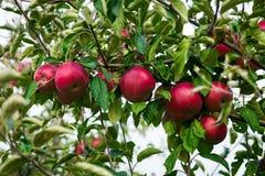 De verse Organische Appelen, appelboomgaard, Apple-tuinhoogtepunt van riped aangaande Royalty-vrije Stock Fotografie