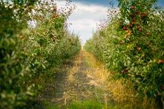 De verse Organische Appelen, appelboomgaard, Apple-tuinhoogtepunt van riped aangaande Stock Afbeelding