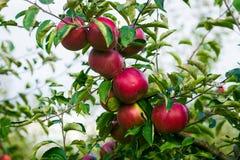 De verse Organische Appelen, appelboomgaard, Apple-tuinhoogtepunt van riped aangaande Stock Foto