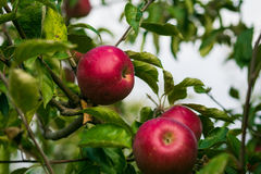 De verse Organische Appelen, appelboomgaard, Apple-tuinhoogtepunt van riped aangaande Royalty-vrije Stock Afbeeldingen