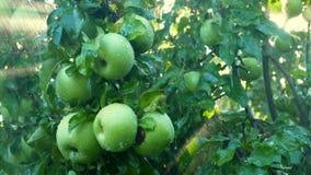 De verse Organische Appelen die op Tak van appelboom hangen in een tuin met regen daalt, het regenen, water gevend tuin stock videobeelden