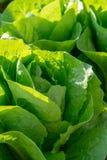 De verse organische groene de groentegroei van het slablad openlucht op fie stock afbeelding