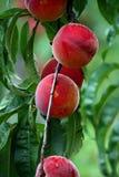De Verse Perziken van het landbouwbedrijf Stock Afbeeldingen