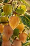 De verse rijpe groene en gele physalisvruchten hangen op Struik i royalty-vrije stock foto