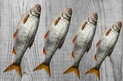 De verse riviervis, ligt op de raad Stock Afbeelding