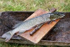 De verse ruwe die vis is de snoek en klaar voor het snijden en het koken wordt gepeld close-up Esox lucius Royalty-vrije Stock Foto's