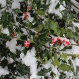 De verse Sneeuw accentueert Donkergroene Hulst met Heldere Rode Bessen Royalty-vrije Stock Foto's