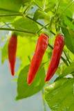De verse Spaanse peper is op de boom Stock Foto's
