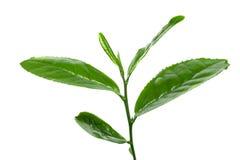 De verse thee doorbladert Stock Afbeelding