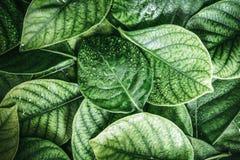 de Verse tropische Groene bladeren met regenwater laten vallen achtergrond Stock Afbeeldingen