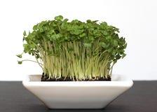 De verse Tuinkers van de Salade Stock Afbeeldingen