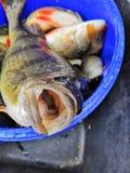 De verse vissen catched van overzees Läänemeri stock fotografie