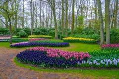 De verse vroege bollen van de de lente roze, purpere, witte hyacint Bloembed met hyacinten in Keukenhof-park, Lisse, Holland, Ned Royalty-vrije Stock Foto's