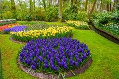 De verse vroege bollen van de de lente roze, purpere, witte hyacint Bloembed met hyacinten in Keukenhof-park, Lisse, Holland, Ned Stock Afbeeldingen