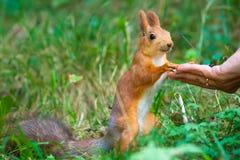 Eekhoorn die van hand eet Stock Afbeelding