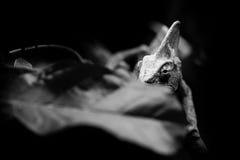 De versluierde portretten van kameleon zwart-witte dieren stock foto