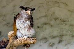 De versperde Eagle-uil stock afbeeldingen